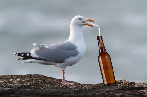 British Seagulls Getting Lit