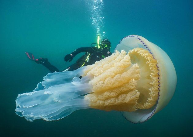 "A Massive ""Human-Sized"" Jellyfish Found."