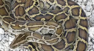 An 8 Foot Python Was Reunited With His Family After Being Missing For 5 Days In Massachusetts