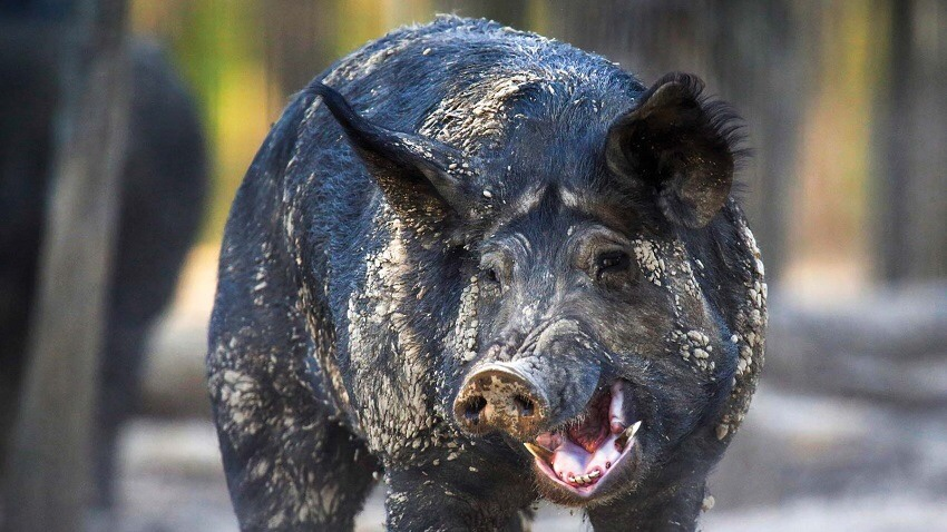 Why Is Everyone Tweeting About 30-50 Feral Hogs?