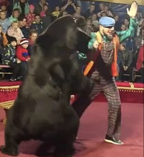 Russian Bear Fed Up With Showbiz Attacks His Trainer